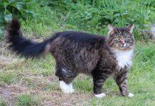 La cura del gatto delle foreste norvegese