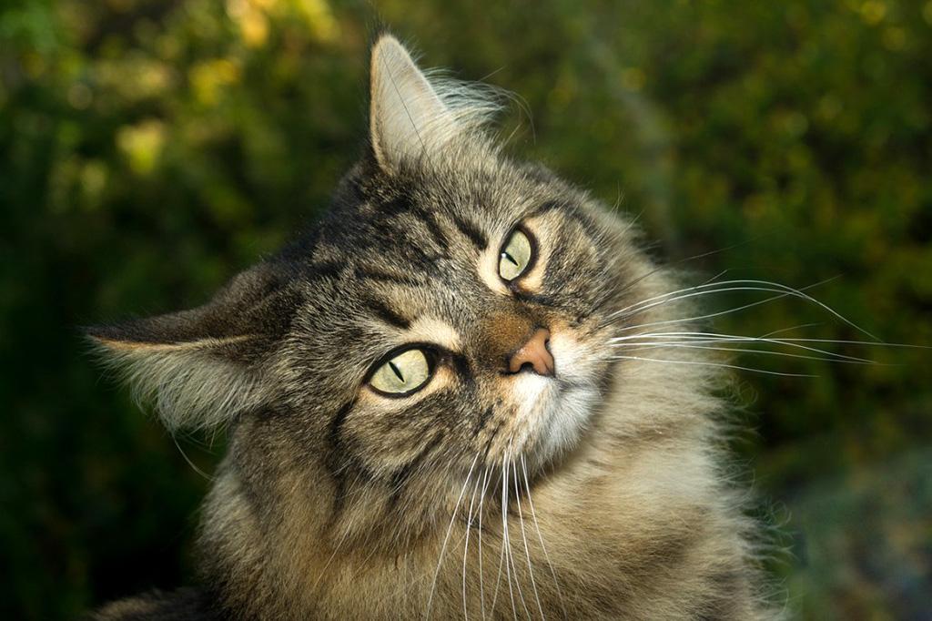 E' vero che i Gatti Norvegesi sono anallergici?